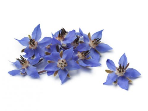 flowers-blue-borage
